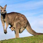 Jak bojovat s klokany hopsajícími na střeše parlamentu?