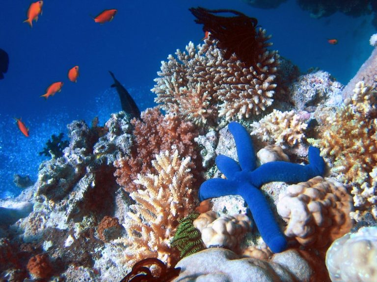 A Blue Starfish (Linckia laevigata) resting on hard Acropora coral. Lighthouse, Ribbon Reefs, Great Barrier Reef