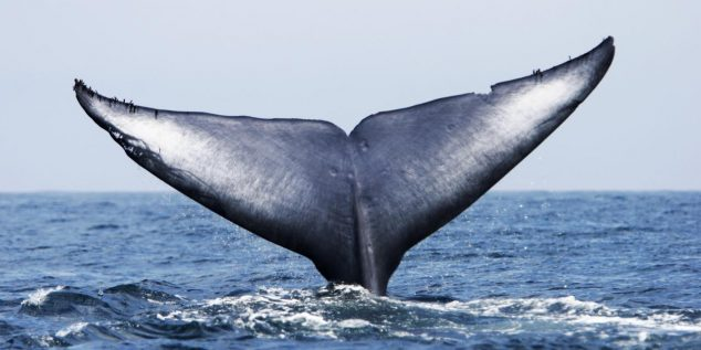 DGFTJY Adult Blue Whale (Balaenoptera musculus) fluke-up dive (note the notches and scars in the flukes) in the offshore waters of