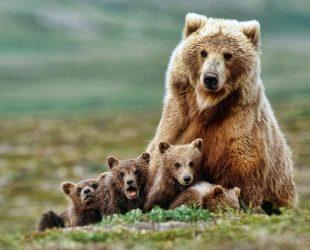 01 -Jeden z největších masožravých savců medvěd hnědý