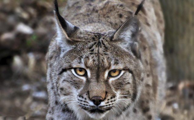 01 - Původní areál druhu zahrnoval lesy mírného pásu v celé Eurasii, ovšem systematický lov ze strany člověka a likvidace přirozeného prostředí vedly k jeho výraznému zmenšení