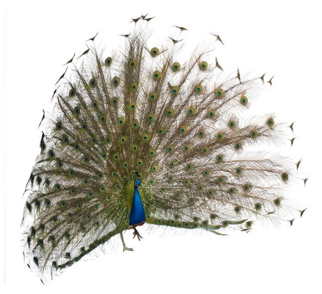male Indian Peafowl
