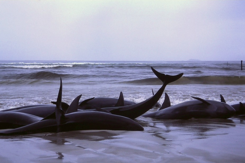 theconversation.com                 A sorry end: beached whales in Flinders Bay. Bahnfrend, CC BY-SA