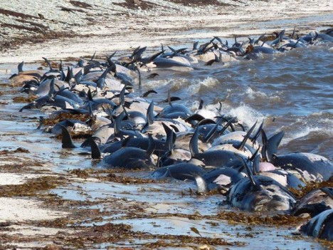 Hundreds of dead pilot whales along the shores of Speedwell Island and thousands of petrels enjoying the unexpected feast (Photo Chris May)