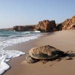 Želví porodnice: Cesta k záchraně ohrožených tvorů?