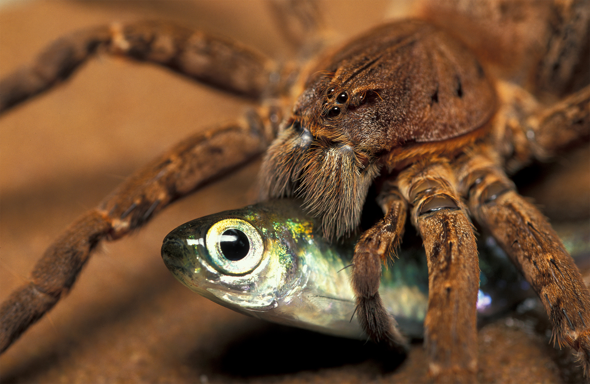 Fishing Spider {Ancylometes bogotensis} with fish prey, French Guyana --- Image by © Ingo Arndt/Nature Picture Library/Corbis