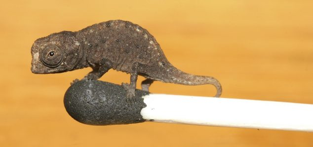 A file picture shows a 'Brookesia micra' chameleon on a matchhead in Madagascar, March 16, 2007. The so-called 'Brookesia micra' chameleon, believed to be the world smallest, has been discovered on the island of Madagascar, German and American biologists announced on February 16, 2012. The lizard, with a 16-millimetre body, measures 29 millimetres with its tail full extended. Picture taken March 16, 2007.      REUTERS/Zoologische Staatssammlung Muenchen/Joern Koehler  (MADAGASCAR - Tags: ANIMALS) THIS IMAGE HAS BEEN SUPPLIED BY A THIRD PARTY. IT IS DISTRIBUTED, EXACTLY AS RECEIVED BY REUTERS, AS A SERVICE TO CLIENTS. FOR EDITORIAL USE ONLY. NOT FOR SALE FOR MARKETING OR ADVERTISING CAMPAIGNS - RTR2XYEV
