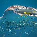 Žraloci obrovští: Vědci odhalili jejich velké tajemství!