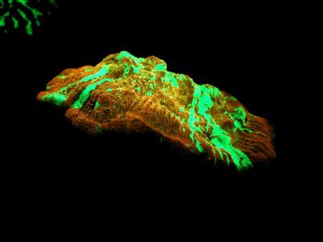 Foto: Obrazem: Korály dokážou fluoreskovat!