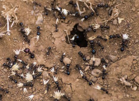 Dorylus ants (aka driver ants or safari ants or siafu)