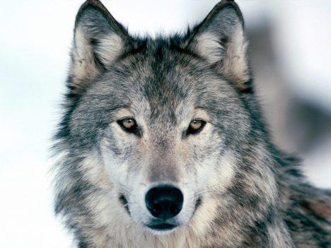 Foto: Vlk je zpět: Máme se bát?