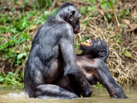 Bonobo in natural habitat. Bonobo mating in the pond. The Bonobo ( Pan paniscus), pygmy chimpanzee and less often, the dwarf or gracile chimpanzee. Democratic Republic of Congo. Africa