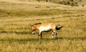 Záchrana divokých koní Převalského