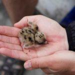 Silně ohroženým rybákům se na pokusných ostrovech na Lipně zalíbilo