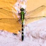 Vážky: Duhové královy hmyzí říše