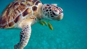 U mořských želv vyhrávají samice