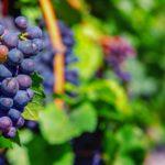 Počátky pěstování révy: Víno se na Sicílii pilo už před 6000 lety