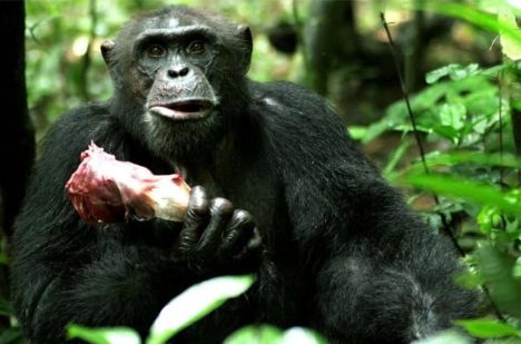 Sagu, an adult male chimpanzee, holding the rib case of a red colobus he caught. Credit: Cristina M. Gomes