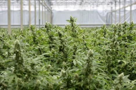 ARCHIV - Eine von der Polizei entdeckte Cannabis-Plantage, aufgenommen in Made, Niederlande, am 26.08.2011. Die Niederlande wollen nach Medienangaben ihre Drogenpolitik weiter verschärfen und einen Großteil der bislang legalen Cannabisprodukte verbieten. Softdrogen wie Haschisch und Marihuana sollen künftig als illegales Rauschgift eingestuft werden, wenn sie mehr als 15 Prozent des Wirkstoffs THC enthalten Foto: Robert van den Berge (Zu dpa vom 06.10.2011)