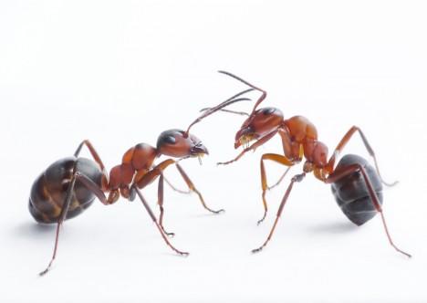 Mravence při útoku řídí jen jejich vrozené schopnosti, přesto jsou jejich strategie i provedení útoků dokonalé.