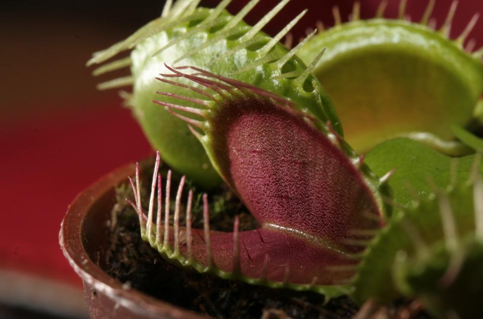 Dionaea_muscipula_trap
