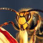 Nebezpečný hmyz: Zmutované sršně děsí Evropu!