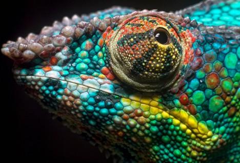 Vědci zjistili, že chameleon dokáže svou barvu měnit díky krystalům pod kůží, které dokáží odrážet jen určitou barvu světla.