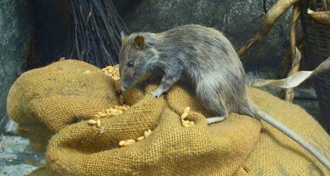 Původně lidé obviňovali z šíření moru krysy, které měly v kožichu infikované blechy. Poslední výzkumy ale ukazují něco jiného.