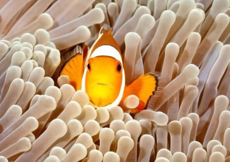 Jediný živočich, který se sasankami žije v symbióze, je mořský klaun, rybka rodu Amphiprion. Klauni sasanky čistí, víří kolem nich vodu a obohacují ji kyslíkem. Žahavá chapadla sasanek je na oplátku chrání před predátory.