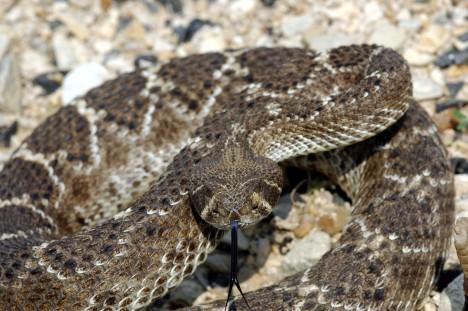 Nejvíce obětí má na svědomí chřestýš západní diamantový. Tento dvoumetrový had žije na jihu Spojených Států.