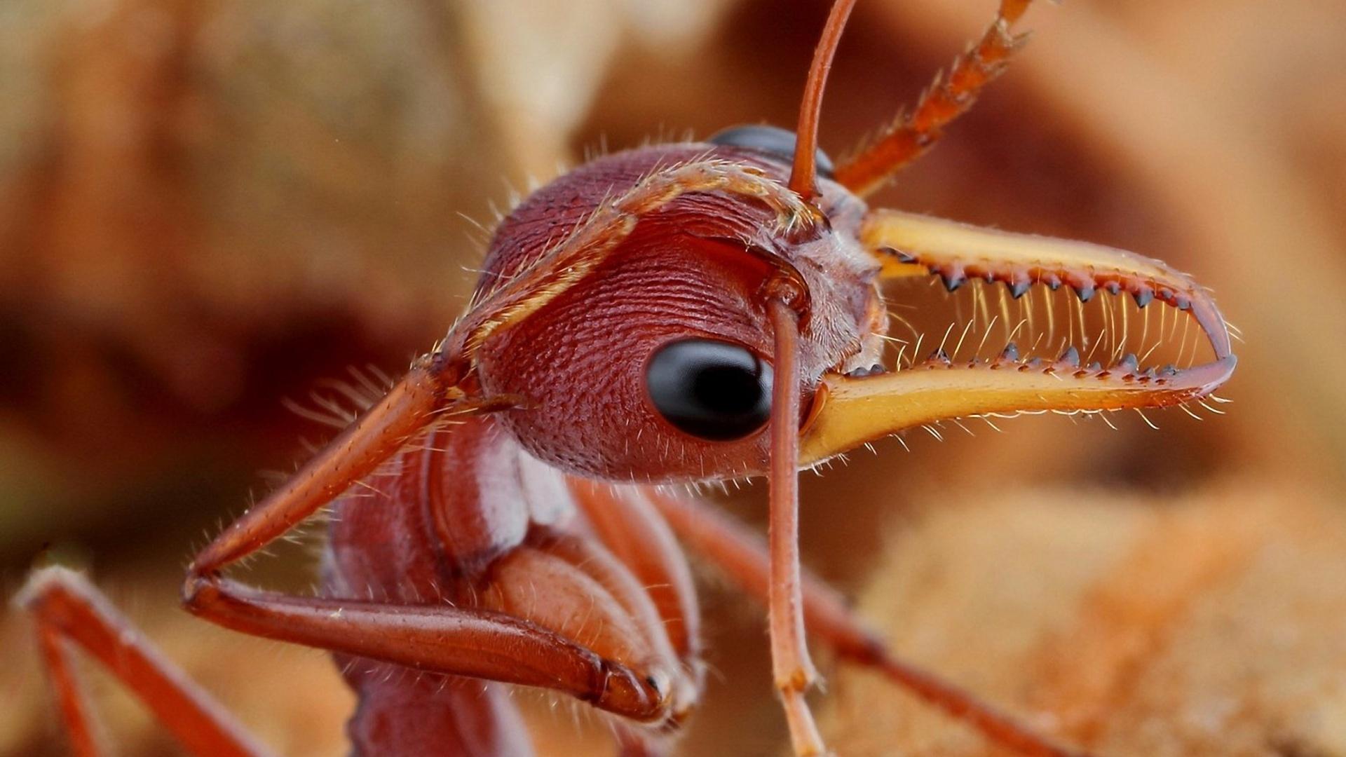 mravenec hlava
