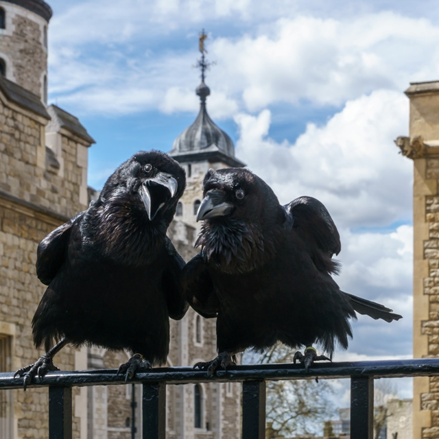 Odin and Thor, Ravens, Tower of London