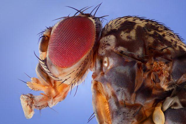 Fruit Fly, Drosophila melanogaster.
