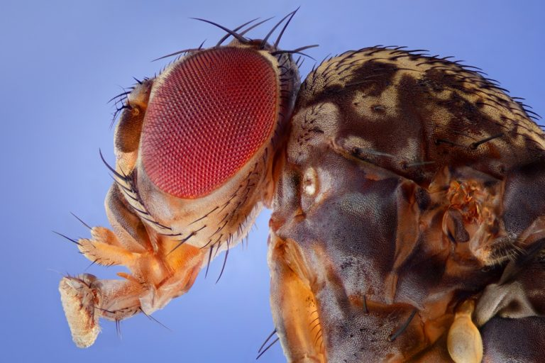 Fruit Fly, Drosophila melanogaster.