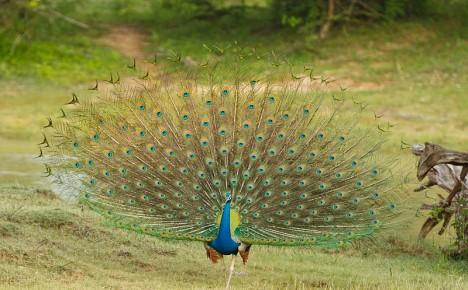 Páv korunkatý je v době renesance oblíbenou pochoutkou na královských stolech. Servíruje se pečený a pozlaceným zobákem.