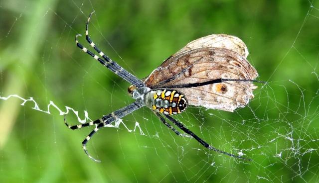 Signature_Spider_feeding_on_Grey_Pansy_butterfly_by_Dr._Raju_Kasambe_DSCN9768_(23)_wikimedia