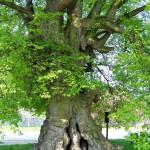 4 památné stromy v Česku: Proč hledal Prokop Holý stín pod lípou?