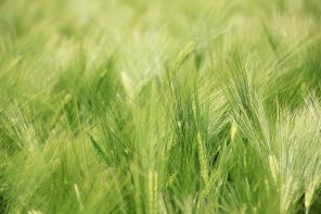 barley-field-1423349_1920