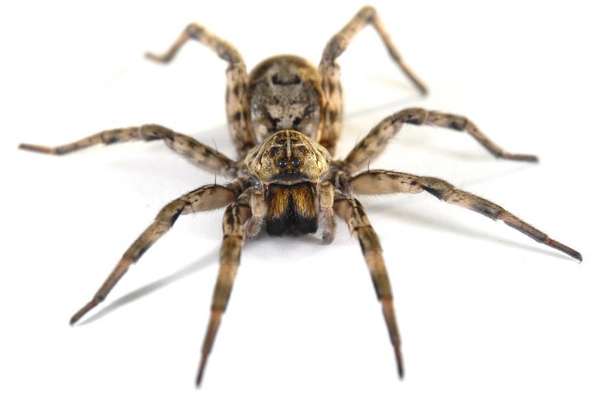 epocha pavouk