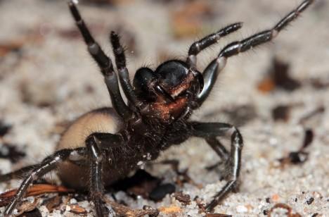 2. Sydneyský zabiják (Atrax robustus) I když má rozpětí nohou jen 6 centimetrů, patří tento australský pavouk k velmi agresivním tvorům. Má ze všech pavouků nejsilnější kusadla, delší než zuby některých hadů a dokáže prý prokousnout i podrážku. Jeho jedem je neurotoxin způsobující svalové křeče, otoky mozku, bušení srdce, zvracení a ochrnutí. Smrt mnohdy následuje do 15 minut po kousnutí.