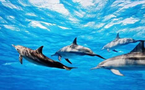 Delfíni své vlastní jméno volají opakovaně a vědci ani jednou nezaznamenali, že by některý delfín napodoboval cizí zvuk.