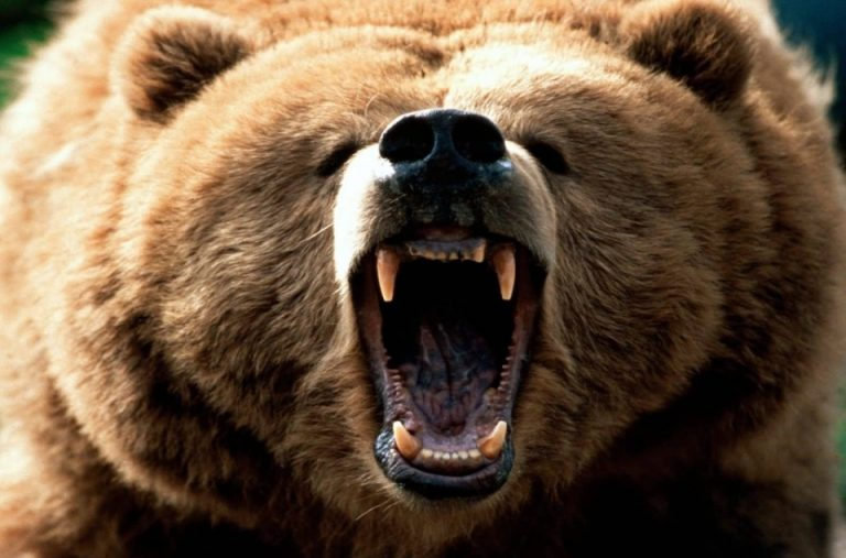 grizzly-1024x768