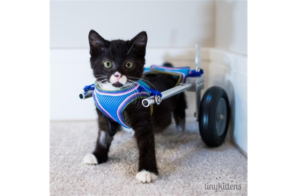 handicapped-kitten-regains-mobility-3d-printed-wheelchair-4