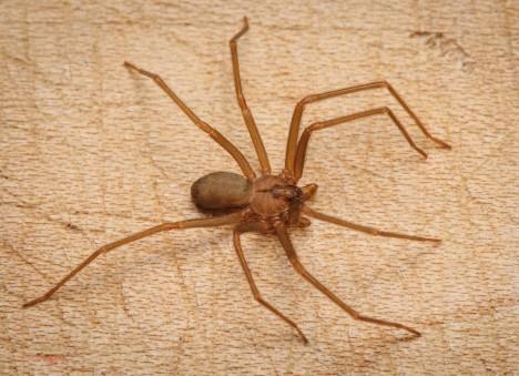 3. Koutník jedovatý (Loxosceles reclusa) Hnědý, jako palec velký, pavouk je jedním z nejnebezpečnějších ve Spojených státech. Jeho jed ničí cévní stěny a způsobuje velké vředy na kůži. Rány po kousnutí se mnohdy nehojí ani po celé měsíce. Někdy se mu říká také houslový pavouk, protože na přední polovině těla má vykreslený tvar houslí. Jejich životním prostředím jsou zejména tmavé jeskyně.