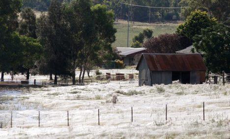 Tichá armáda pavouků poblíž města Wagga v Austrálii.