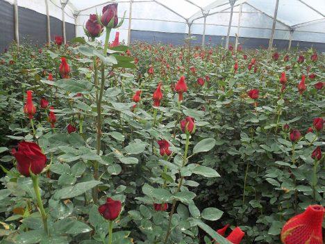 Foto: Růže: Královna květin provází lidstvo celou jeho historií!
