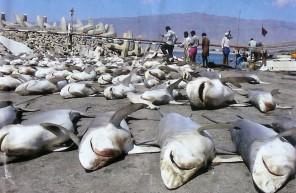 shark-finning1