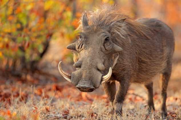 Warthog (Phacochoerus africanus) in natural habitat, Kruger National Park, South Africa