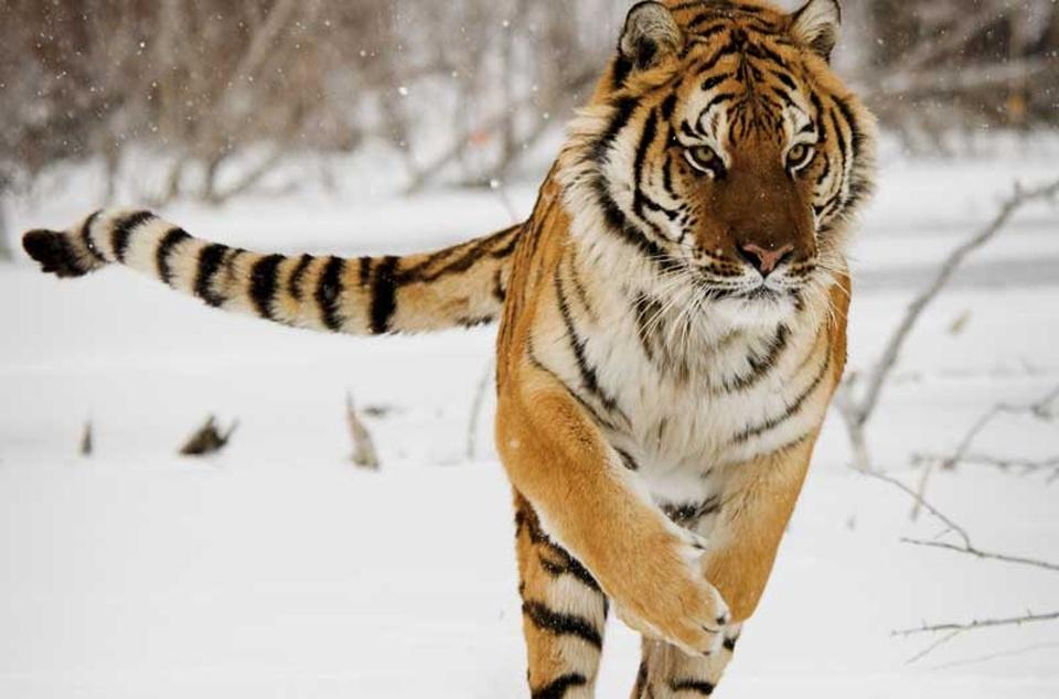 tiger_siberian