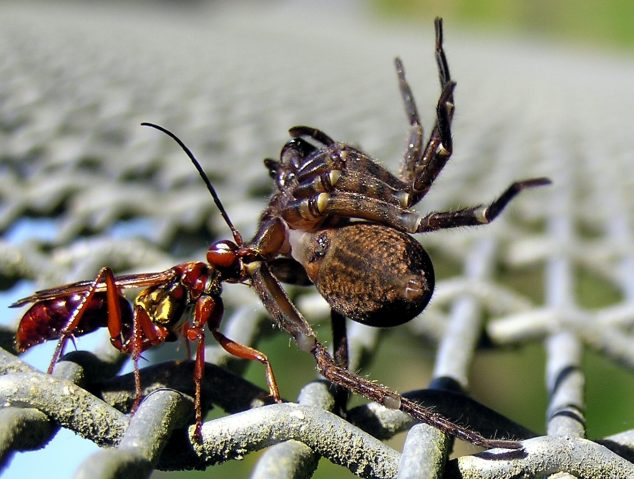 Photographer:Tony Wills, 19-Feb-2007   Female Golden Hunting Wasp dragging paralysed spider to its nest.